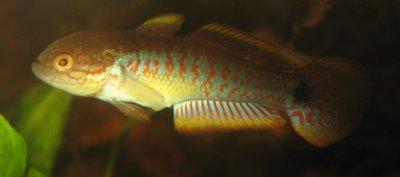 Männchen von Tateurndina ocellicauda